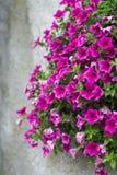 Blommar petunior royaltyfri bild