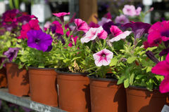 Blommar petunior i krukor Arkivbilder