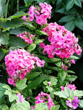 blommar phloxpink Fotografering för Bildbyråer