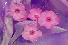 blommar phloxsilk Arkivfoto