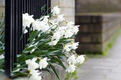 blommar pingstliljawhite Royaltyfria Bilder