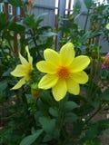 blommar pingstliljayellow arkivbild