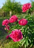 blommar pionen Arkivfoto