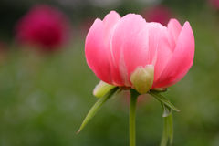 blommar pionen Arkivbild