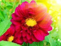 blommar pioner Royaltyfri Foto