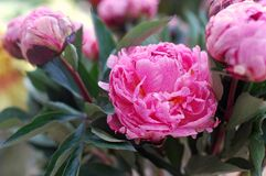 blommar pionpink Royaltyfria Foton