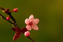 blommar plommonet Arkivfoton