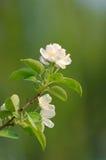 blommar plommonet Arkivbilder