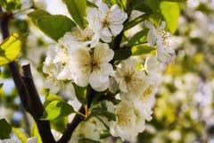 Blommar plommonet Arkivbild