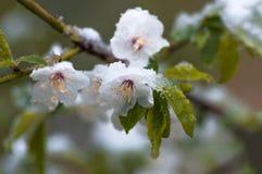 Blommar plommonträdet i våren som sist täckas, snöar Royaltyfri Bild