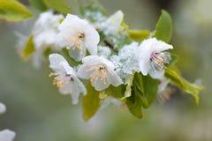 Blommar plommonträdet i våren som sist täckas, snöar Fotografering för Bildbyråer