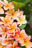 blommar plumeria Fotografering för Bildbyråer