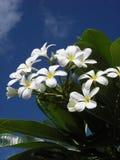 blommar plumeriawhite Royaltyfri Fotografi