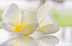 blommar plumeriawhite Royaltyfri Bild