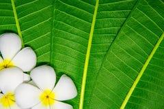 blommar plumeriawhite Arkivbild