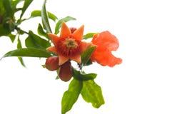 blommar pomegranaten Arkivbild
