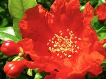 blommar pomegranatered royaltyfri bild