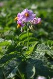 blommar potatisen Arkivbild