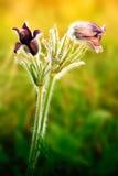 blommar pulsatillaen Fotografering för Bildbyråer