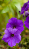 blommar purple Royaltyfria Bilder