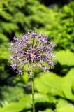 blommar purple Arkivfoton