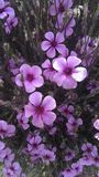 blommar purple royaltyfria foton