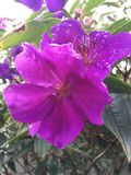 blommar purple Royaltyfri Bild