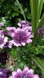 blommar purple Royaltyfria Foton