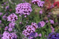 blommar purple Royaltyfri Foto