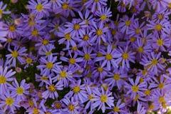 blommar purple Arkivbild