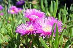 blommar purple Royaltyfri Foto