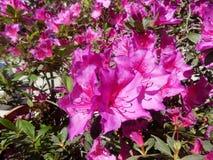 blommar purple Arkivfoto