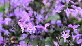 blommar purpur liten tropisk white arkivfilmer