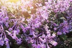 blommar purpur liten tropisk white Royaltyfri Foto