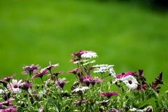 blommar purpur white Arkivbilder