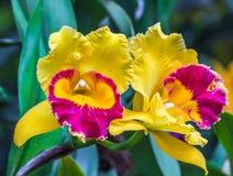 blommar purpur yellow för orchid Arkivfoto