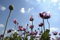 blommar purpurt högväxt Royaltyfri Fotografi