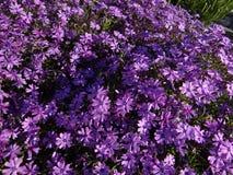 blommar purpurt litet royaltyfria foton