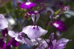 blommar purpurt mycket litet royaltyfria bilder