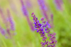 blommar purpurt wild Arkivfoto