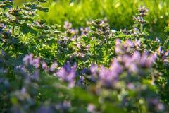 blommar purpurt wild Royaltyfria Bilder