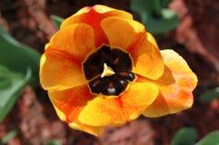 blommar röd tulpanyellow Arkivbilder