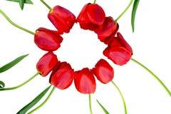 Blommar röda tulpan Arkivfoto