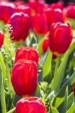 blommar röda tulpan Royaltyfria Foton