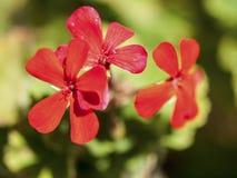 blommar red Arkivfoto