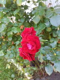blommar red Royaltyfria Bilder