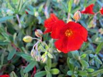 blommar red Royaltyfri Bild