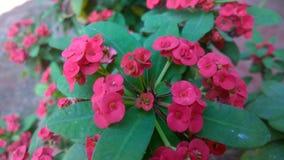 blommar red Fotografering för Bildbyråer