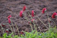 blommar red Royaltyfri Foto