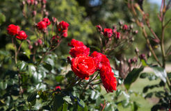 blommar red steg Arkivfoto